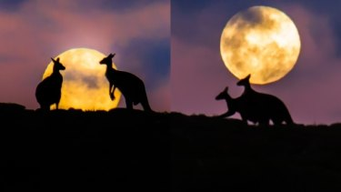 The kangaroos before and during their amorous exchange.