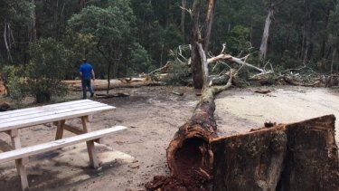 One of the trees that was felled at the Lerderderg State Park.