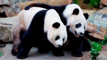 The Chinese were so thrilled with a $35 billion gas deal in 2007 that they made a gift of giant pandas Funi, left, and Wang Wang to Adelaide Zoo.