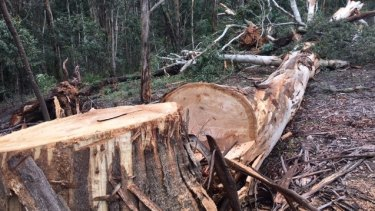It is believed a group of four to six people used a chainsaw to chop down the five trees.
