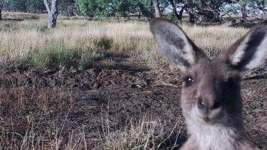 A kangaroo saying hello to one of Matt Wilson's camera traps.