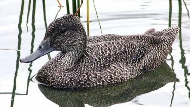 The protected freckled duck.