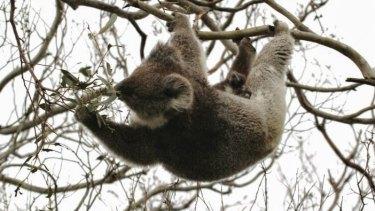Koala in Otways in manna gums stripped of leaves.