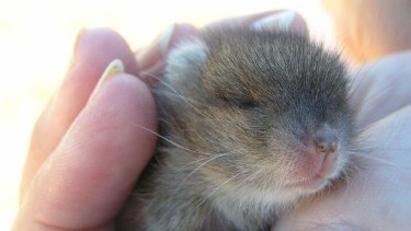 A baby stick nest rat may be cute – but the rat in its name puts the public off investing in its future, conservationists say.