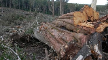 A giant cut-tail ash tree logged and left behind on the edge of rainforest gully.