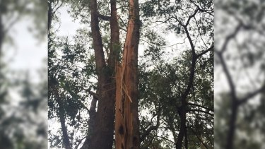 The tree that was struck by lightning behind the Pinjarra evacuation centre.