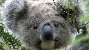 Innovative treatment is helping koalas in South-East Queensland.