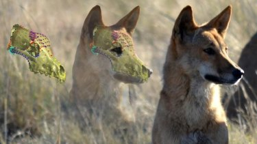 A 3D skull reconstructed from a CT scan superimposed on an image of a dingo.