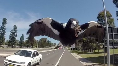 "Swooping is part of the ""natural behaviour"" of magpies."