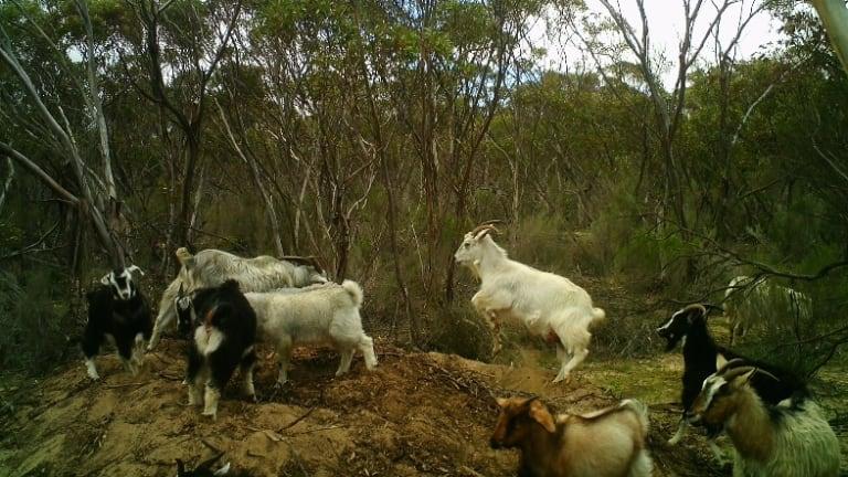 Fiona Gray's image of goats dancing on an endangered malleefowl nest.