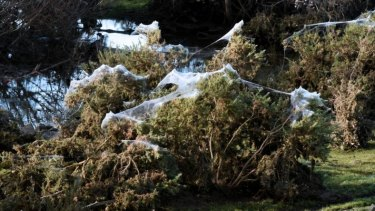 In heavy rain, spiders fling themselves to safety by casting silk threads on top of trees and shrubs.
