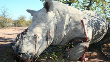 A white rhinoceros killed by poachers for its horns in 2012.