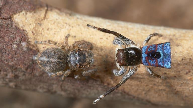 Living Colour: A male Maratus mungaich approaches a female.