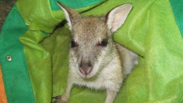 Twyla the Pretty Face Wallaby in her pouch.