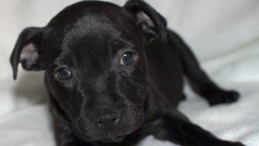 Torro had to be euthanased after he collapsed nine days after it was bought from the Inglewood pet store.
