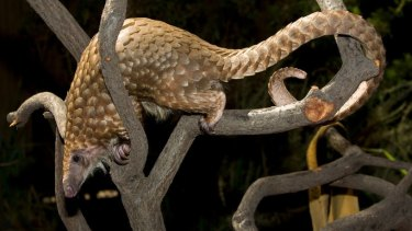 Baba, a male white-bellied tree pangolin, has lived at the San Diego Zoo since 2007.