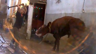Footage depicts a bull being sledgehammered to death in Vietnam.