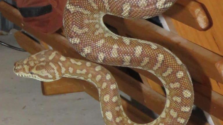 Close-up of python found seeking heat behind a fridge in a Queanbeyan garage.