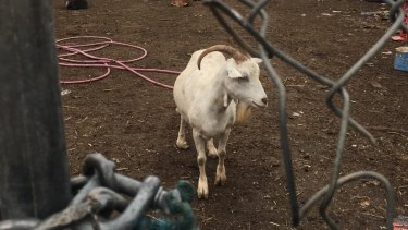 A goat wanders around the property.