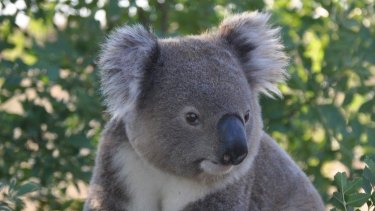 Koala habitat near Ballina won't stop an upgrade of the Pacific Highway.