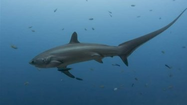 Rory Angiolella's friends suspect it was a thresher shark that bumped the surfer.