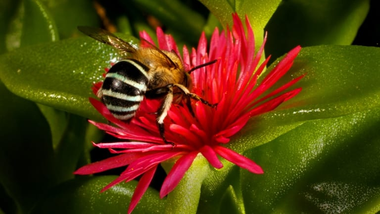 Scientists observe bee societies: An Australian native bee visits a flower. They have not been affected by colony collapse disorder.