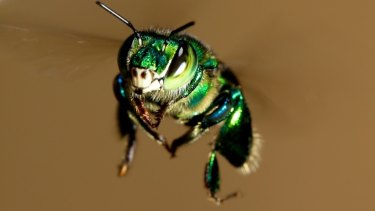 An orchid bee takes time out to ponder the meaning of flight.