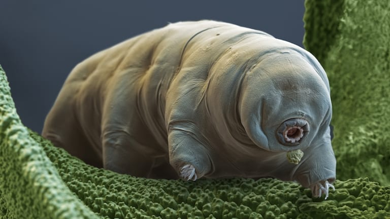 Colour enhanced scanning electron micrograph of a tardigrade.