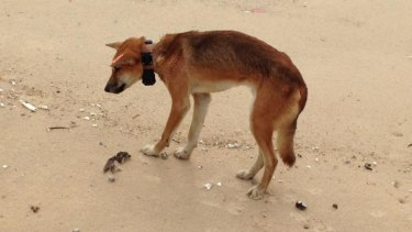Fraser Island 'purebred' dingoes could be extinct in 10