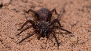 Brush-footed spider found at Olkola, Queensland.