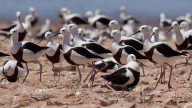 Mating behaviour relies on rare and shortlived flooding events.
