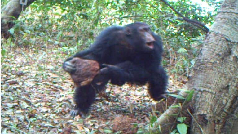 When chimpanzees throw stones at trees, is this instinct or evidence of culture?  At the Chimbo Foundation in Guinea Bissau, some impressive videos were recorded which confirmed the researchers' suspicion that chimpanzees were responsible for these stone piles and were regularly visiting these trees.