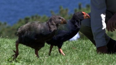 Four critically endangered takahe birds have been shot by hunters in New Zealand.