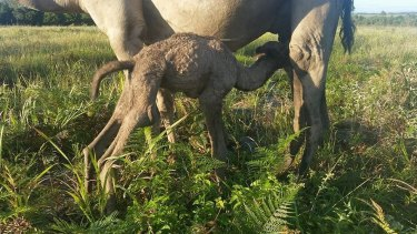 Camel calves wean off their mother's milk after about two years.