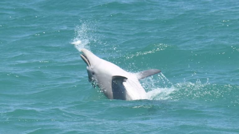 Many dolphins around the world have been sighted playing with blowfish.