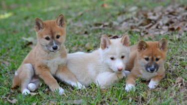 Australia Zoo's new alpine dingo pups - Jira, Archie and Eve.