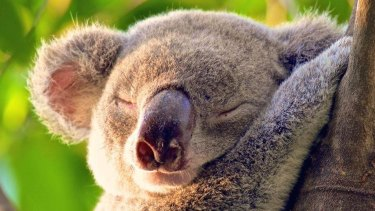 ''No tree, no me'' is one slogan koala supporters use to draw attention to the threat from land clearing.
