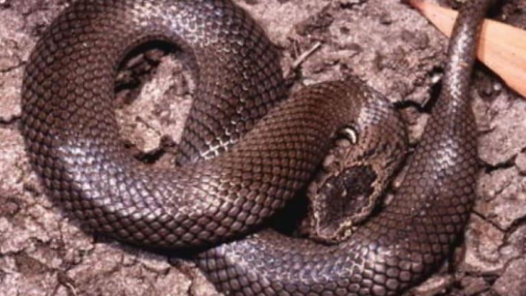 The ornamental snake.