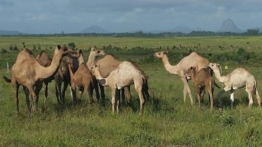There are more than 50 camels at QCamel.