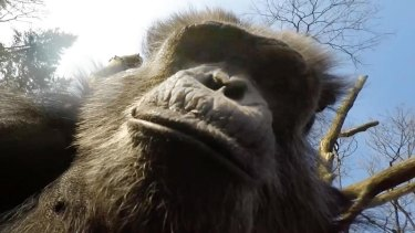 Tushi, a chimpanzee at Burgers' Zoo in The Netherlands, examines the drone after bringing it down with a stick.