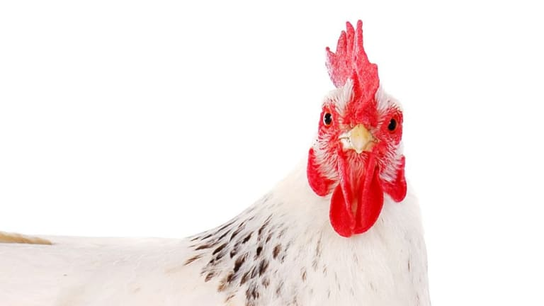 That innocent chicken may be smarter than you think.