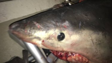 The great white shark knocked fisherman Terry Selwood off his feet.