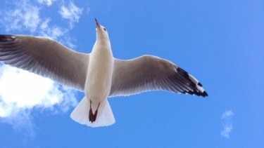 A gull seeks out its next meal.