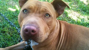 Buddy, the pit bull dog who was put on death row after being classified a dangerous, restricted breed.
