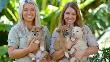 Australia Zoo dingo keepers Erin Berry and Becky-Jo Quinn with their three new charges.