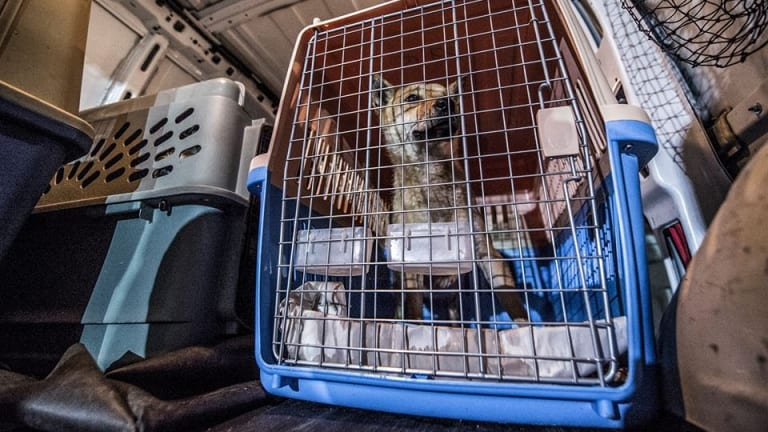 Rescued dogs from South Korea arrive at  the Humane Animal Welfare Society in Wisconsin.