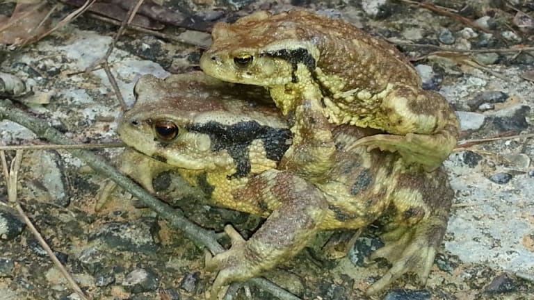 Asiatic toads are resistant to chytridiomycosis.
