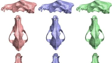 Can you tell the difference? The pink skull is the dingo, the purple skull is the hybrid and the green skull is the wild dog breed.