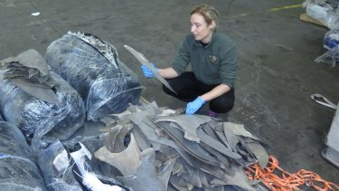 Australian forensic specialist Dr Jenny Giles inspecting a shipment of dried shark fins in the US.