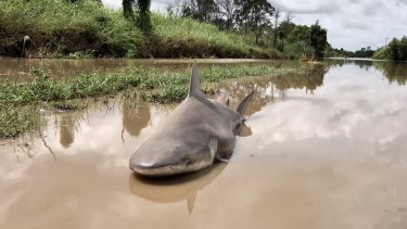 A bull shark was left stranded after the Burdekin River flooded.